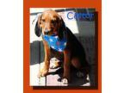 Adopt Castor Misfit *MEET ME AT AA!* a Tricolor (Tan/Brown & Black & White)