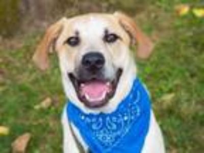 Adopt COODER a Labrador Retriever, Great Pyrenees