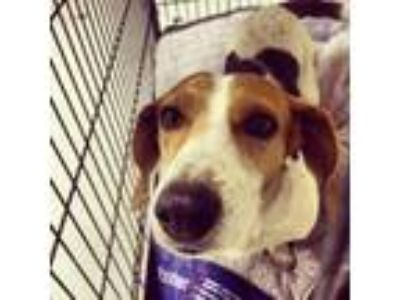 Adopt Sammee - Claremont a Brown/Chocolate - with Black Beagle / Mixed dog in