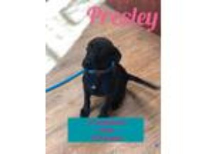 Adopt Presley a Black - with White Labrador Retriever / Border Collie / Mixed
