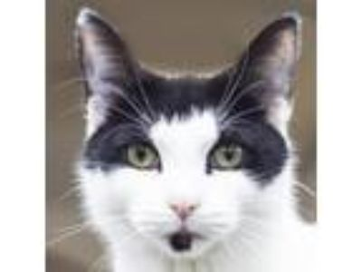 Adopt Lotus a White Domestic Shorthair cat in Middletown, RI (25852398)