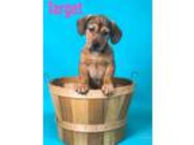Adopt Target a Tan/Yellow/Fawn Beagle / Mixed dog in Joliet, IL (25588611)