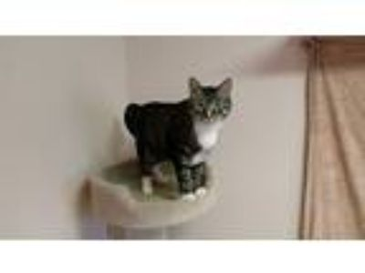 Adopt KItKat a Domestic Short Hair