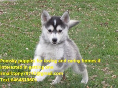 Male And Female Pomsky Puppies Available Text 6464819801