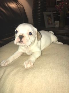 French Bulldog PUPPY FOR SALE ADN-91755 - French Bulldogs for sale