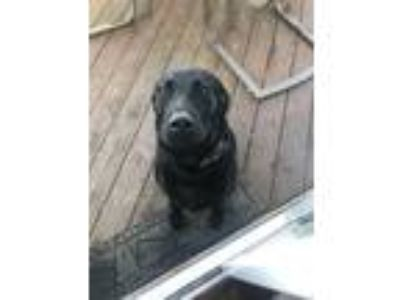 Adopt Jaxon a Black Labrador Retriever dog in Plainfield, IL (25350140)
