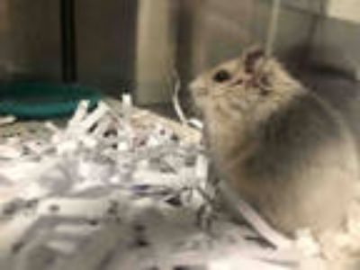 Adopt *MYSTERIO a Silver or Gray Hamster / Mixed small animal in Las Vegas