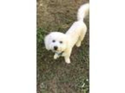 Adopt Marshmallow TW in MS a Bichon Frise