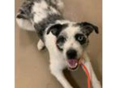Adopt Bella a White Australian Shepherd / Border Terrier / Mixed dog in
