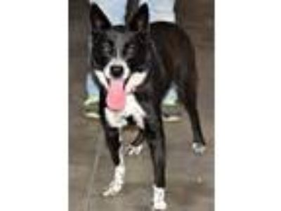 Adopt Trixie a Australian Cattle Dog / Blue Heeler, Border Collie