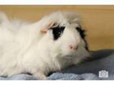 Adopt Snowball a Guinea Pig small animal in Rochester Hills, MI (25154052)