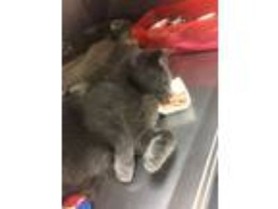 Adopt Artie a Gray or Blue Domestic Shorthair (short coat) cat in Byron Center