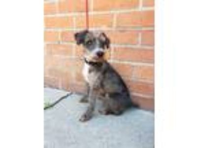 Adopt PAULO (VIDEO) a Gray/Silver/Salt & Pepper - with White Poodle (Miniature)
