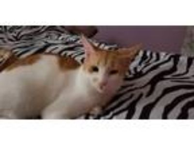 Adopt Patches a White (Mostly) Domestic Shorthair (short coat) cat in Fort
