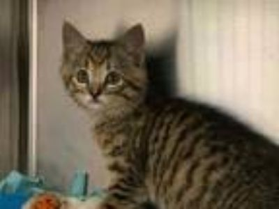 Adopt FORTITUDE a Brown Tabby Domestic Shorthair / Mixed (short coat) cat in