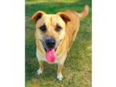 Adopt Corey #2 a Tan/Yellow/Fawn - with White German Shepherd Dog / Labrador