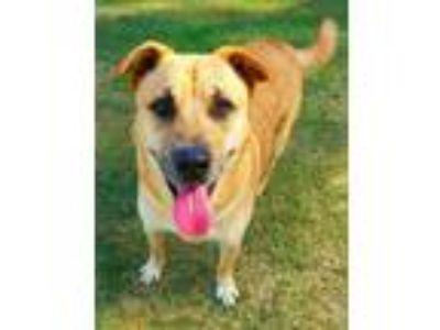 Adopt Corey #2 a Tan/Yellow/Fawn - with White German Shepherd Dog / Labrador