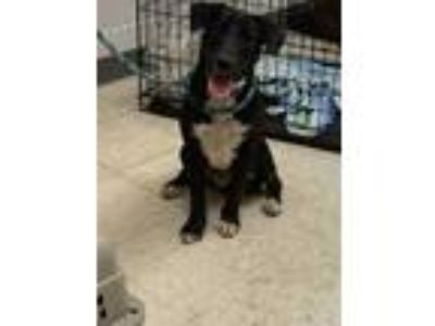 Adopt Charlie a Black Labrador Retriever / Mixed dog in Gulfport, MS (25894781)
