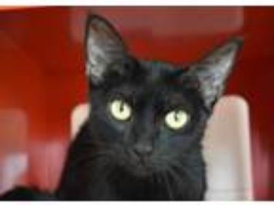 Adopt CHICKADEE a Domestic Short Hair
