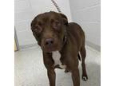 Adopt Carrie Anne a Brown/Chocolate Mixed Breed (Medium) dog in Jacksonville