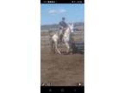 Adopt Rumor a Arabian, Quarterhorse