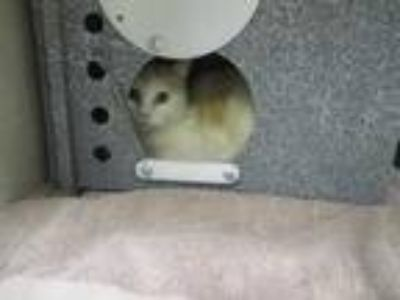 Adopt Tater Tot a White Domestic Shorthair / Domestic Shorthair / Mixed cat in