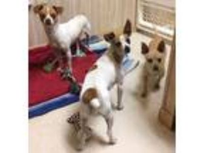 Adopt Dante seeks loving attention giving person a Jack Russell Terrier