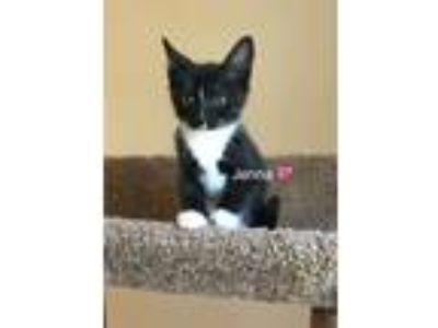 Adopt Jenna a Domestic Short Hair