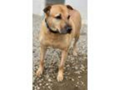 Adopt Junjie a Shar Pei / Shepherd (Unknown Type) / Mixed dog in Columbia