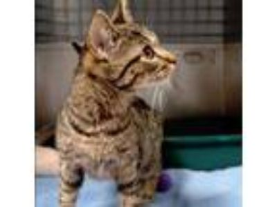 Adopt Belle a Brown or Chocolate Domestic Shorthair cat in South Haven