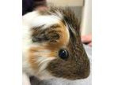 Adopt Louis V a Brown or Chocolate Guinea Pig (short coat) small animal in Palm