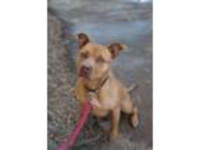 Adopt Kaya a Pit Bull Terrier