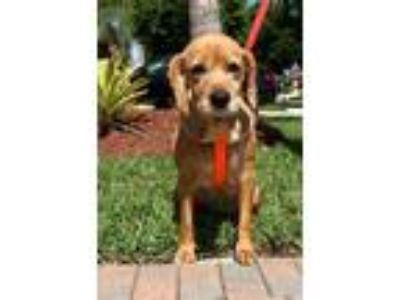Adopt Layla a Tan/Yellow/Fawn Cocker Spaniel / Mixed dog in Cape Coral