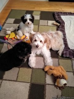 Male and female Tibetan terrier/poodle mixes