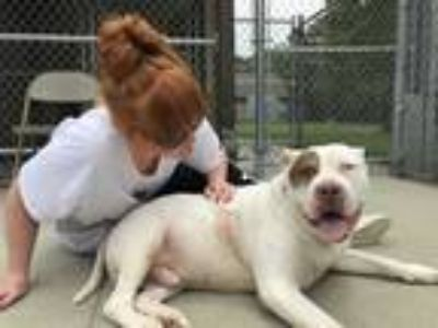 Adopt Mister a White - with Tan, Yellow or Fawn Pit Bull Terrier / Mixed dog in