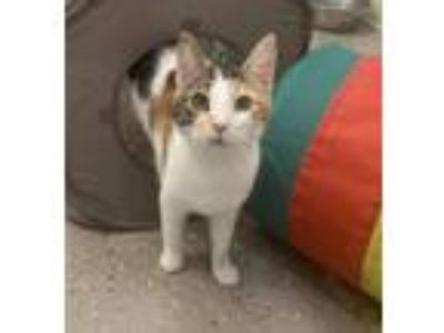 Adopt Cleo a Calico, Domestic Short Hair