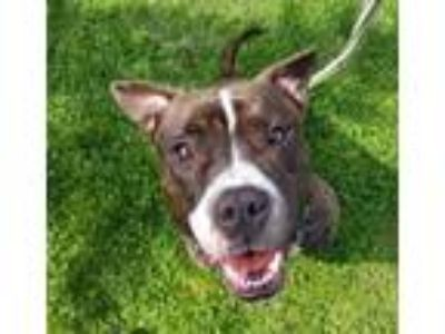 Adopt Chester a Brown/Chocolate - with White Pit Bull Terrier / Boxer / Mixed
