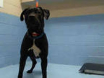 Adopt a Black - with White American Pit Bull Terrier / Mixed dog in Moreno