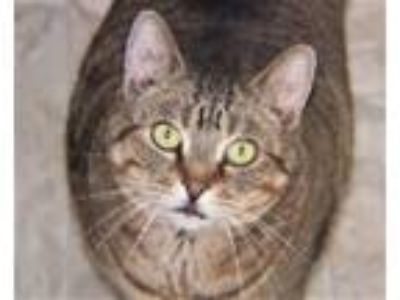 Adopt Bombay a Domestic Short Hair