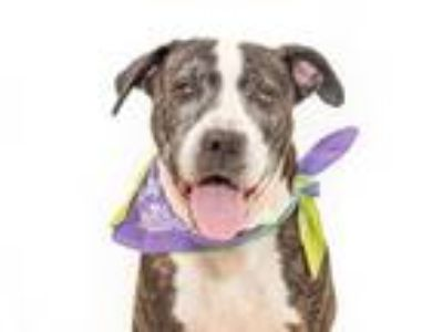 Adopt TIDUS a Brindle - with White American Pit Bull Terrier / Mixed dog in