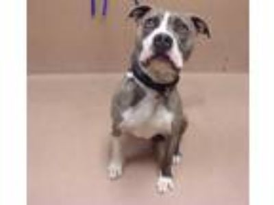 Adopt Shadow a Brindle American Pit Bull Terrier / Mixed dog in Reno