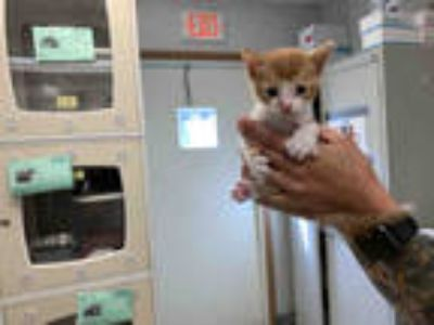 Adopt JINGLES a Orange or Red Tabby Domestic Shorthair / Mixed (short coat) cat