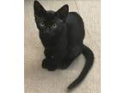 Adopt Queen-kitty a All Black Domestic Shorthair / Mixed (short coat) cat in