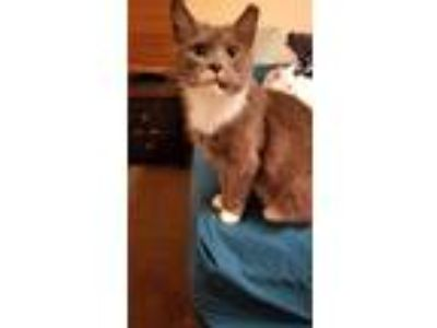 Adopt Micki a Gray or Blue (Mostly) Domestic Shorthair (short coat) cat in