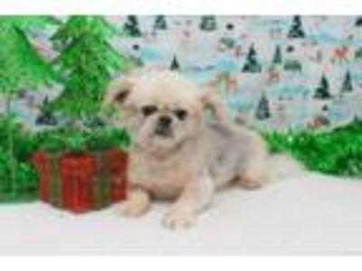 Adopt Huck Starling a Pekingese