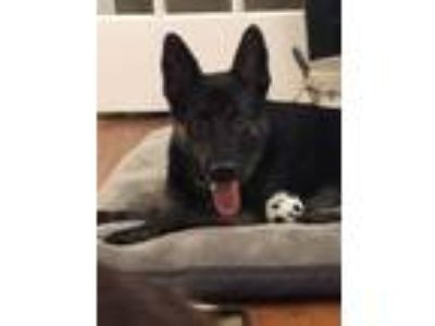 Adopt LOGAN a Shepherd, Dutch Shepherd