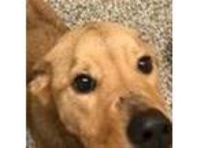 Adopt Honeycomb a Shepherd (Unknown Type) / Labrador Retriever / Mixed dog in