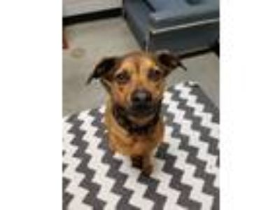 Adopt Addie a Brown/Chocolate - with Black Shepherd (Unknown Type) / Mixed dog