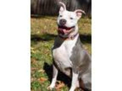 Adopt Jasper a White - with Gray or Silver Pit Bull Terrier / Mixed dog in