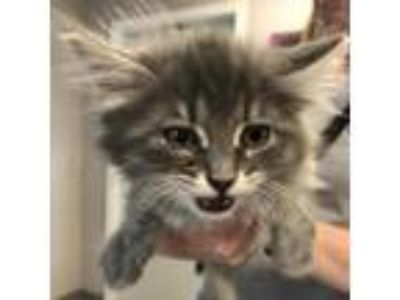 Adopt Pepper a Gray or Blue Domestic Longhair cat in League City, TX (25559922)